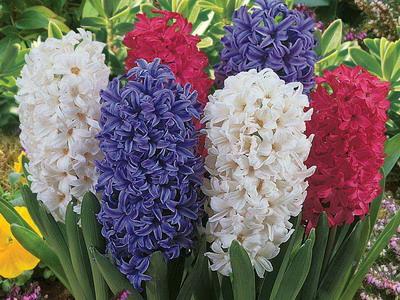 http://www.flowerbank.ru/wp-content/uploads/2012/12/giacint-2.jpg