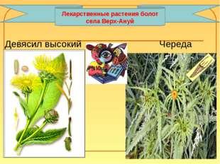 Девясил высокий Череда Лекарственные растения болот села Верх-Ануй