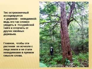 Тис остроконечный ассоциируется с деревом - невидимкой: ведь его так сложно