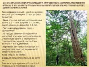 Тис остроконечный – хвойное дерево высотой до 20 метров. Ствол до 1м в диамет
