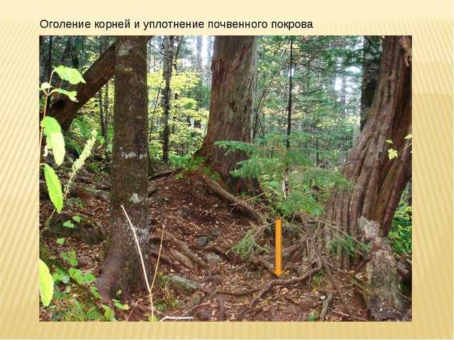 Оголение корней и уплотнение почвенного покрова