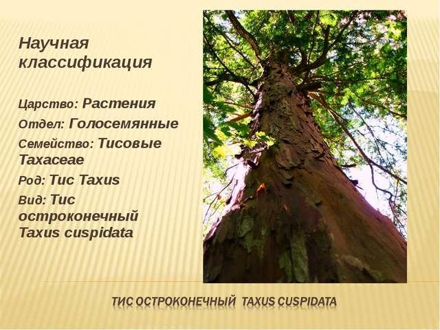 Научная классификация Царство: Растения Отдел: Голосемянные Семейство: Тисовы...