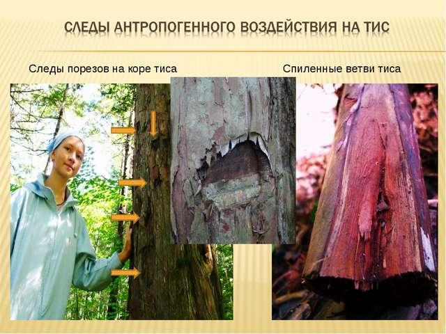 Следы порезов на коре тиса Спиленные ветви тиса