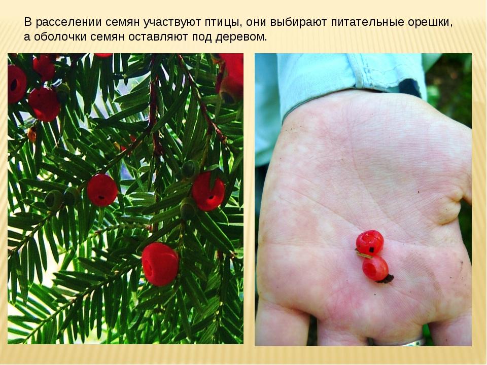 В расселении семян участвуют птицы, они выбирают питательные орешки, а оболоч...