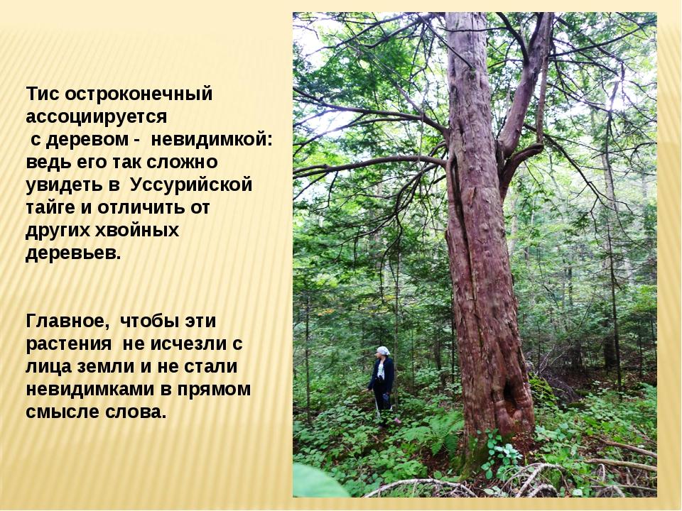 Тис остроконечный ассоциируется с деревом - невидимкой: ведь его так сложно...