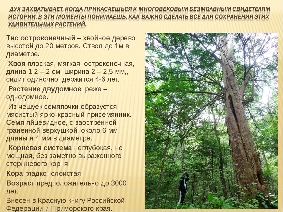 Тис остроконечный – хвойное дерево высотой до 20 метров. Ствол до 1м в диамет...