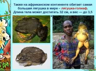 Также на африканском континенте обитает самая большая лягушка в мире – лягушк