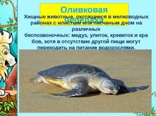 Оливковая черепаха Хищные животные, охотящиеся в мелководных районах с илист