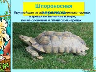 Шпороносная черепаха Крупнейшая из африканских наземных черепах и третья по