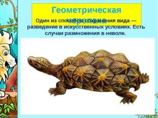 Геометрическая черепаха Один из способов сохранения вида— разведение в иску