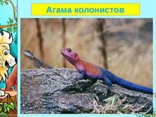 Агама колонистов ProPowerPoint.Ru