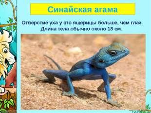 Синайская агама Отверстие уха у это ящерицы больше, чем глаз. Длина тела обы