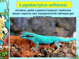 Lygodactylus williamsi Активны днём и демонстрируют наиболее яркую окраску