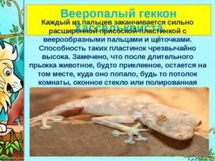 Вееропалый геккон Хассельквиста Каждый из пальцев заканчивается сильно расши
