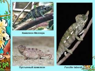 Хамелеон Меллера Пустынный хамелеон Furcifer labordi ProPowerPoint.Ru