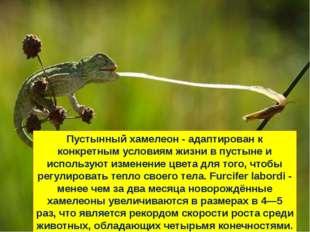 Пустынный хамелеон - адаптирован к конкретным условиям жизни в пустыне и испо