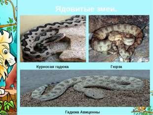 Ядовитые змеи. Курносая гадюка Гюрза Гадюка Авиценны ProPowerPoint.Ru