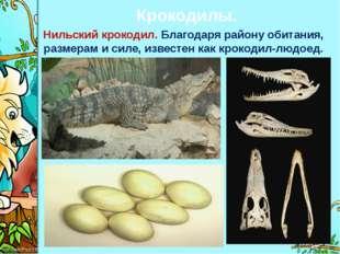 Крокодилы. Нильский крокодил. Благодаря району обитания, размерам и силе, изв