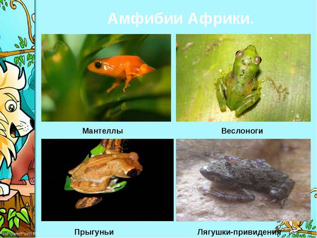 Амфибии Африки. Лягушки-привидения Прыгуньи Веслоноги Мантеллы ProPowerPoint.Ru