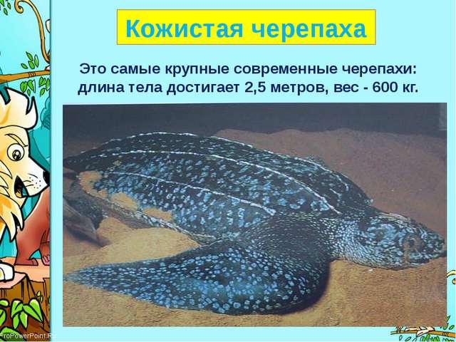 Кожистая черепаха Это самые крупные современные черепахи: длина тела достига...