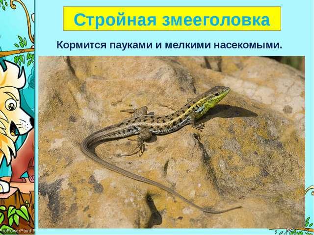 Стройная змееголовка Кормится пауками и мелкими насекомыми. ProPowerPoint.Ru