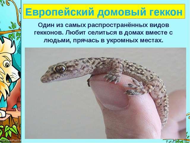 Европейский домовый геккон Один из самых распространённых видов гекконов. Лю...