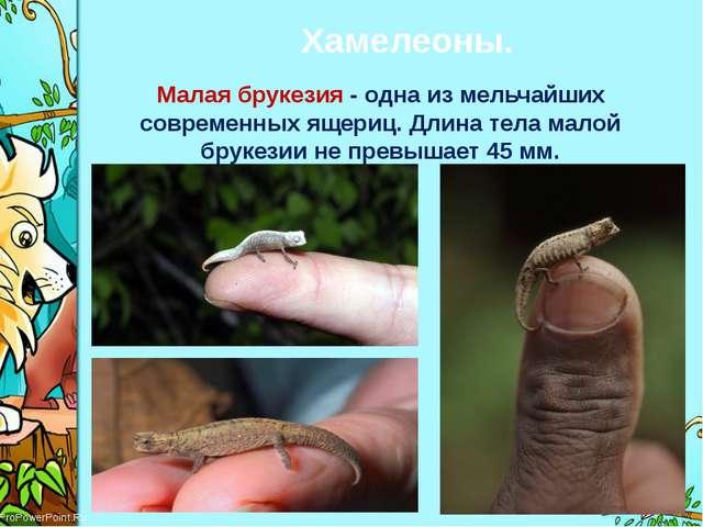 Хамелеоны. Малая брукезия - одна из мельчайших современных ящериц. Длина тела...