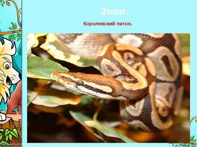 Змеи. Королевский питон. ProPowerPoint.Ru