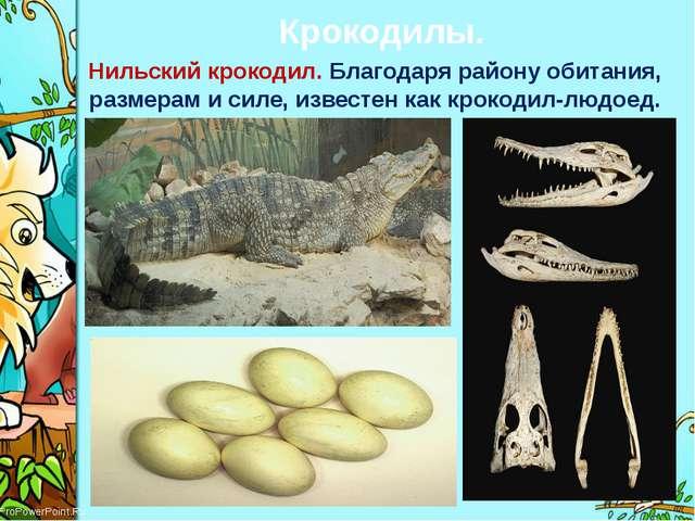 Крокодилы. Нильский крокодил. Благодаря району обитания, размерам и силе, изв...