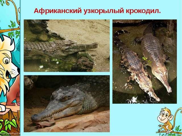 Африканский узкорылый крокодил. ProPowerPoint.Ru