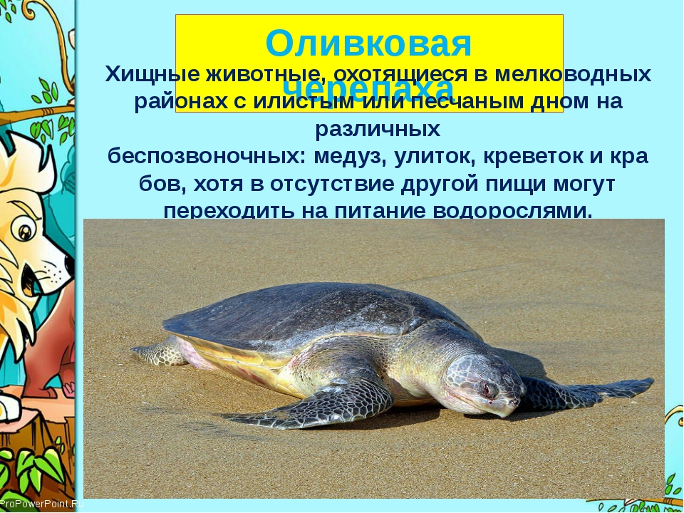 Оливковая черепаха Хищные животные, охотящиеся в мелководных районах с илист...