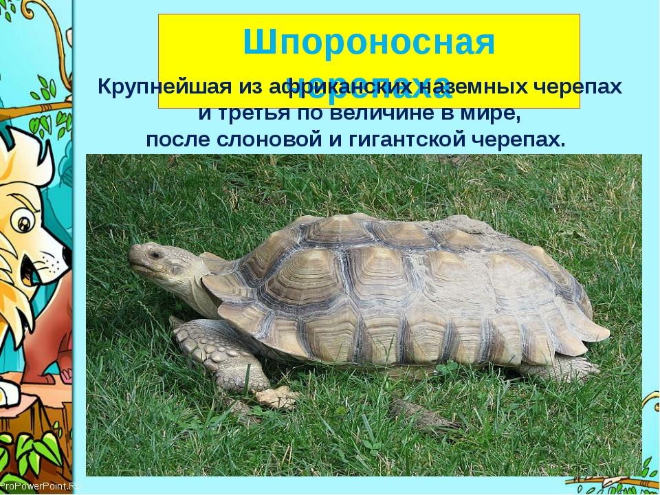 Шпороносная черепаха Крупнейшая из африканских наземных черепах и третья по...