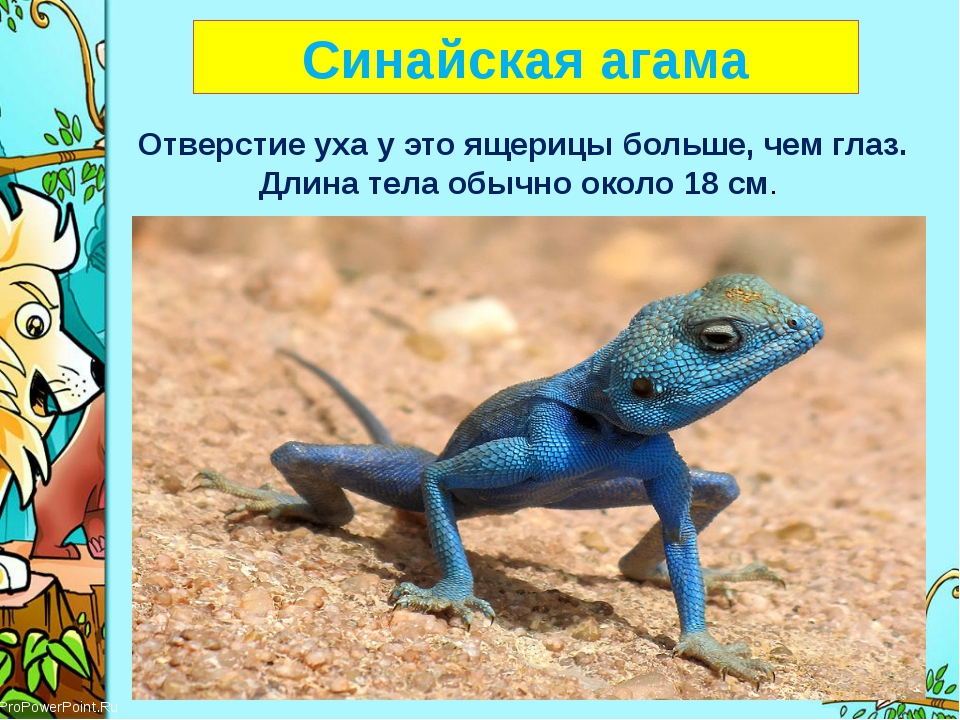 Синайская агама Отверстие уха у это ящерицы больше, чем глаз. Длина тела обы...