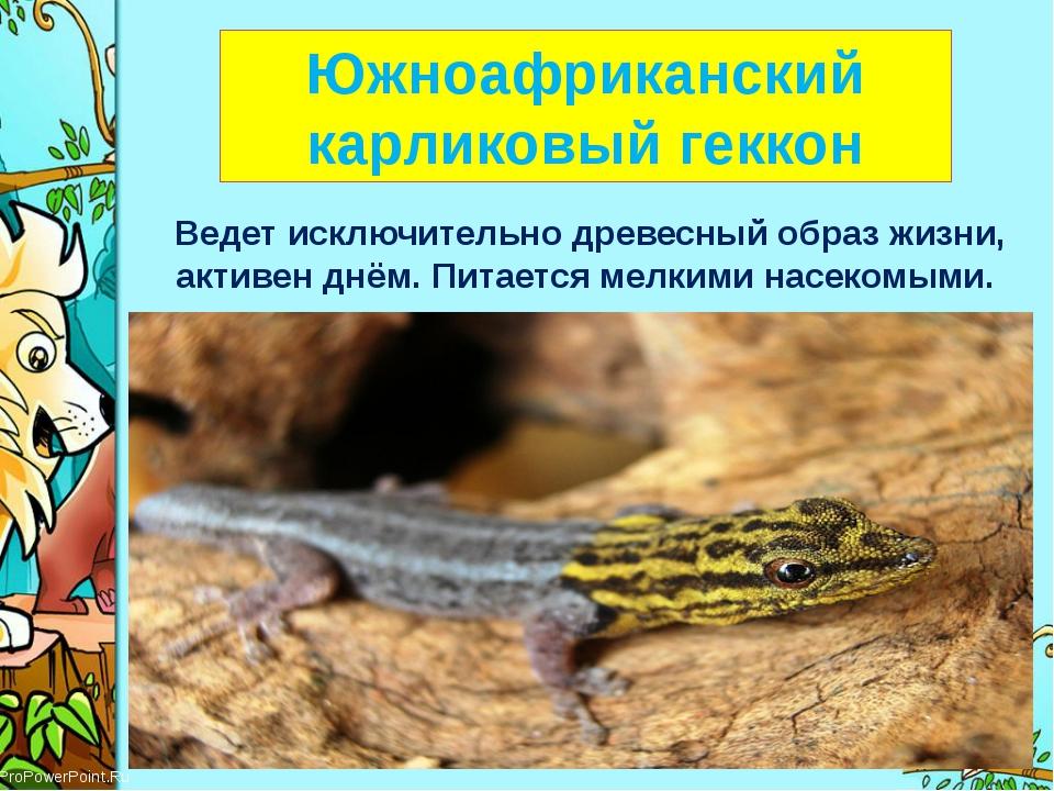 Южноафриканский карликовый геккон Ведет исключительно древесный образ жизни,...
