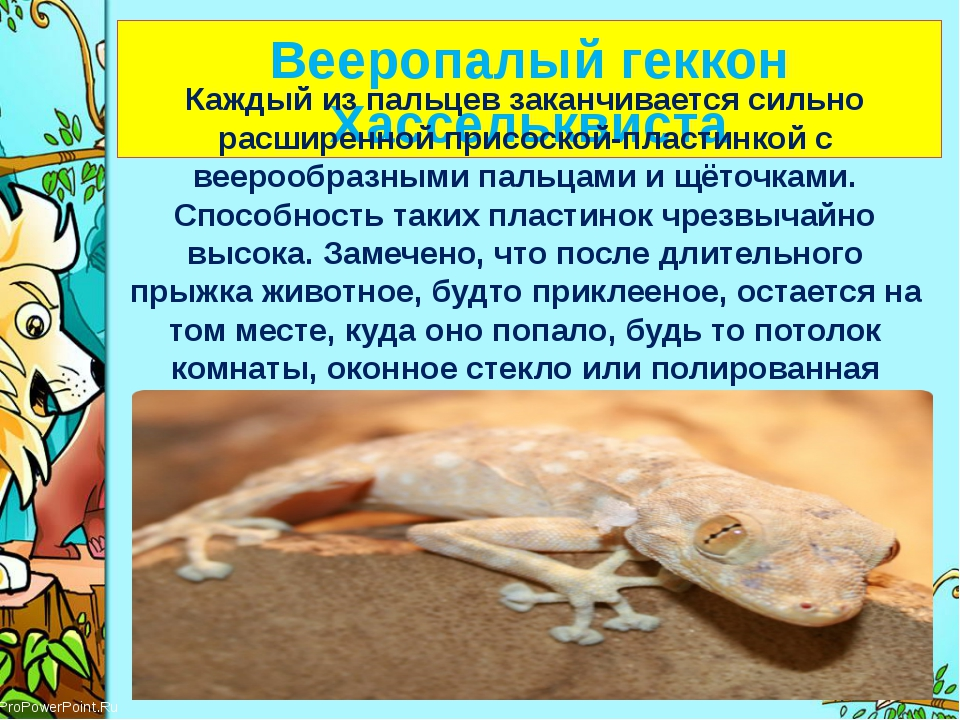 Вееропалый геккон Хассельквиста Каждый из пальцев заканчивается сильно расши...