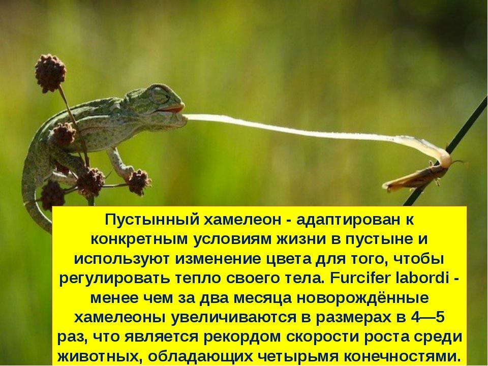 Пустынный хамелеон - адаптирован к конкретным условиям жизни в пустыне и испо...
