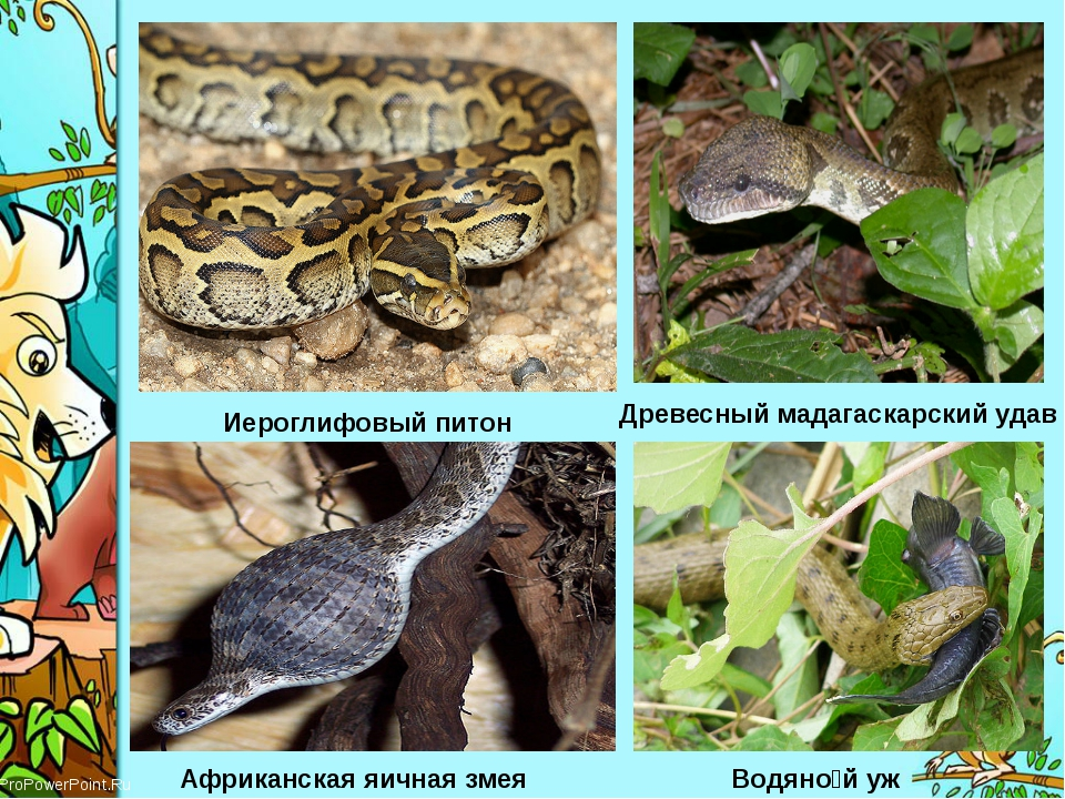 Иероглифовый питон Древесный мадагаскарский удав Африканская яичная змея Водя...