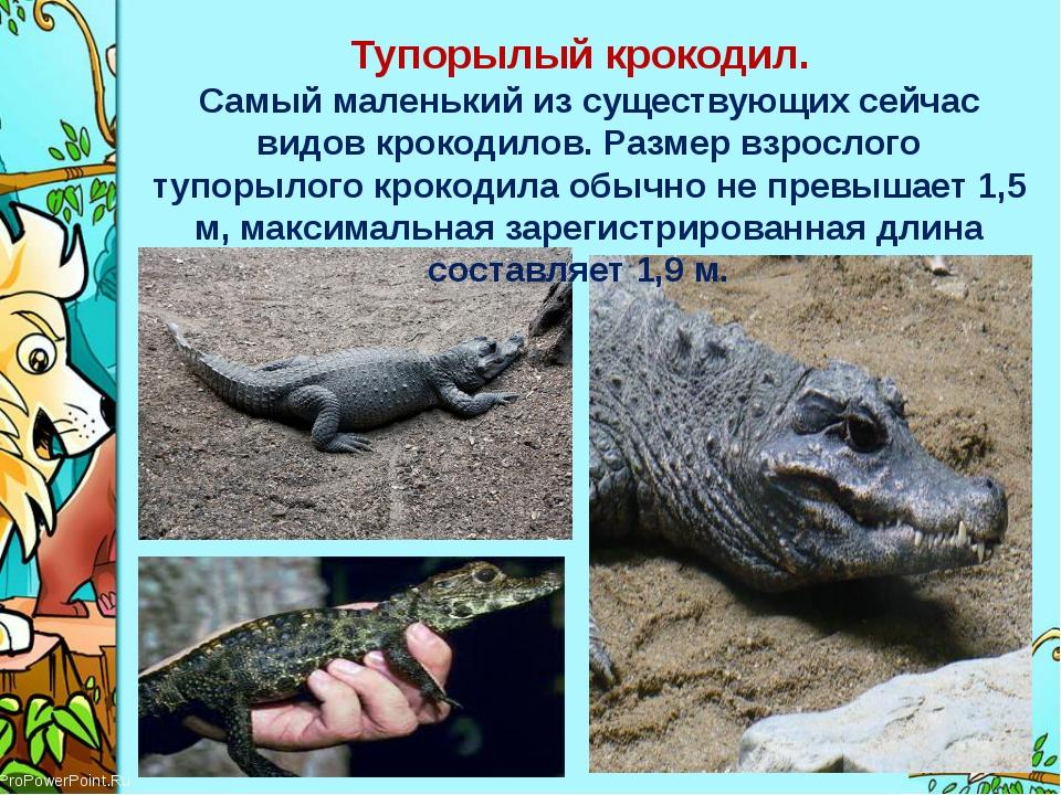 Тупорылый крокодил. Самый маленький из существующих сейчас видовкрокодилов....