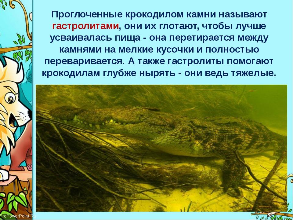 Проглоченные крокодилом камни называют гастролитами, они их глотают, чтобы лу...