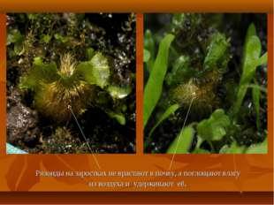Ризоиды на заростках не врастают в почву, а поглощают влагу из воздуха и удер