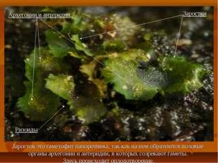 Заросток это гаметофит папоротника, так как на нем образуются половые органы