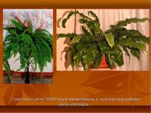 Существует около 20000 видов папоротников, в культуре выращивают около 200 в