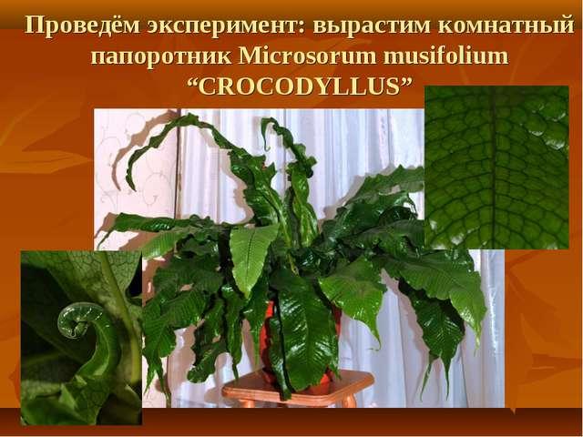 """Проведём эксперимент: вырастим комнатный папоротник Microsorum musifolium """"CR..."""