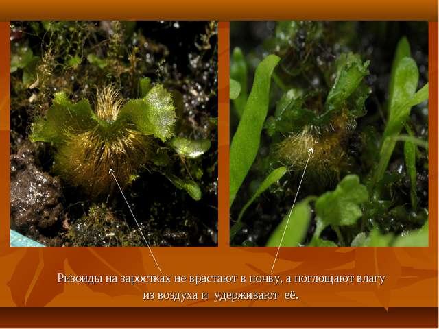 Ризоиды на заростках не врастают в почву, а поглощают влагу из воздуха и удер...