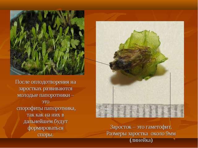 После оплодотворения на заростках развиваются молодые папоротники – это споро...