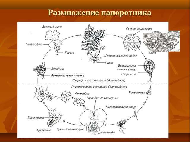 Размножение папоротника Сорус