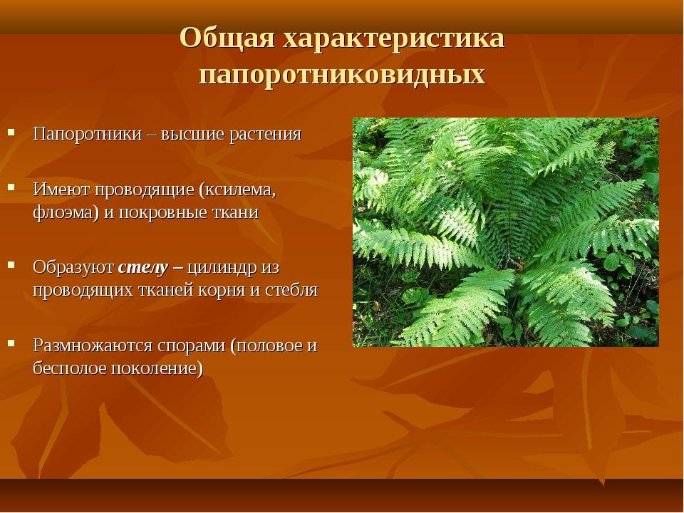 Общая характеристика папоротниковидных Папоротники – высшие растения Имеют пр...