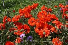 Цветение маков в мае