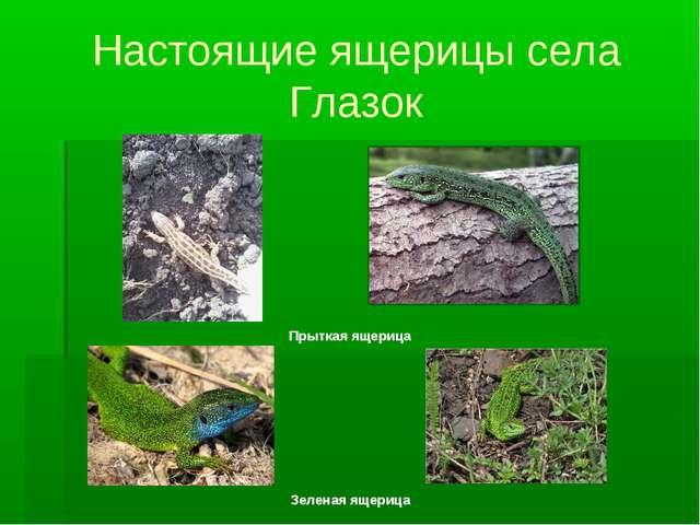 Настоящие ящерицы села Глазок Прыткая ящерица Зеленая ящерица