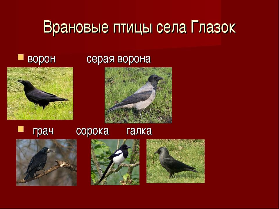 Врановые птицы села Глазок ворон серая ворона грач сорока галка